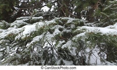 winter fir branch with hoarfrost and snowfall - Beautiful...