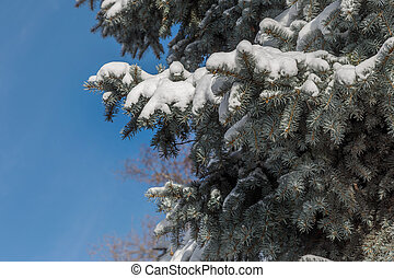Winter fir branches in the snow on a bright sunny day