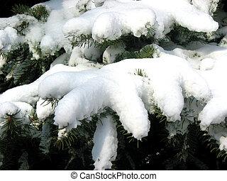 Winter fir branches under snow 1
