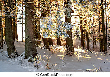 Winter fir forest