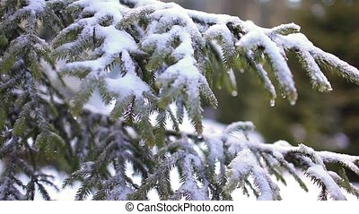 Winter fir in Carpatian mountain