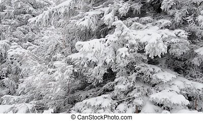 Winter fir tree close-up - Winter realtime HD footage in...