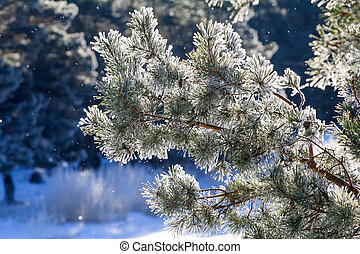 winter, fir-tree in frost