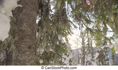 Winter fir tree in the Siberian mountains - Panoramic view...