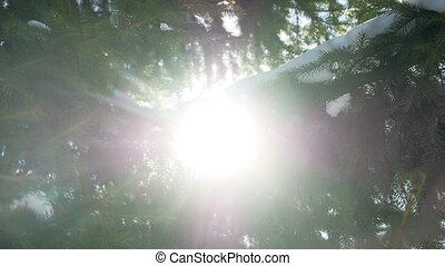 Winter fir tree nature snow on the branches of spruce landscape sun glare