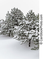 Winter Fir Trees Covered With Deep Snow