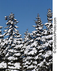 winter fir trees - some firs on a bright winterday