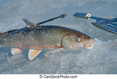 Winter fishing 11 - A close up of the fish (Leuciscus...