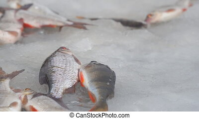 Fish on the ice. Perch and roach - Winter fishing. Fish on ...