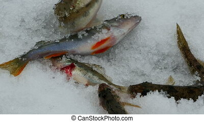 live fish on ice - Winter fishing, live fish on ice