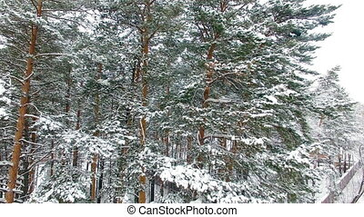Winter Forest Aerial View