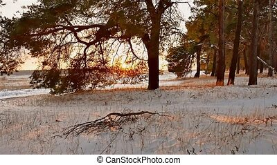 winter forest and sun landscape. christmas tree beautiful sun winter forest snow a glare sunlight