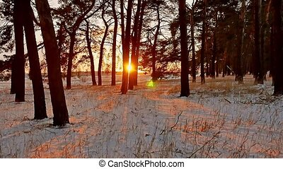winter forest and sun landscape. christmas tree beautiful winter forest sun snow a glare sunlight
