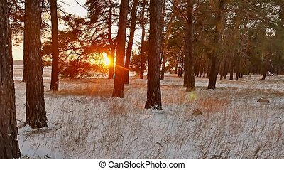 winter forest and sun landscape. christmas tree beautiful winter sun forest snow a glare sunlight