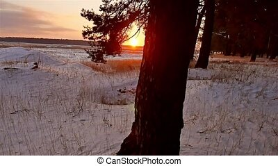 winter forest and sun landscape. christmas tree sun beautiful winter forest snow a glare sunlight
