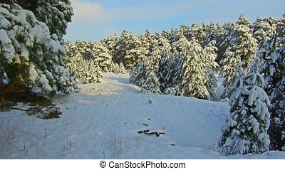 winter forest and sun steadicam shot. christmas tree the beauty nature landscape outdoors
