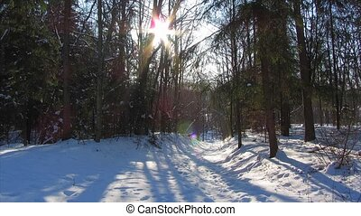 winter forest and the sun