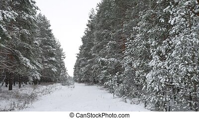 winter forest Christmas tree, pine trees in snow winter nature beautiful landscape road path in the forest
