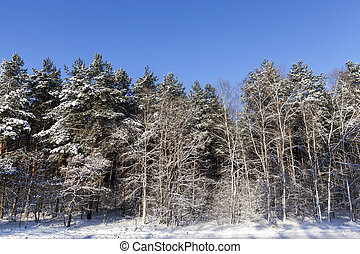 Winter forest, close-up