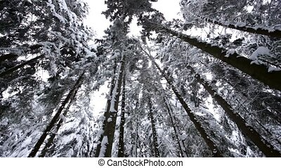 Winter forest . Dolly shot. Slow motion - Winter coniferous...