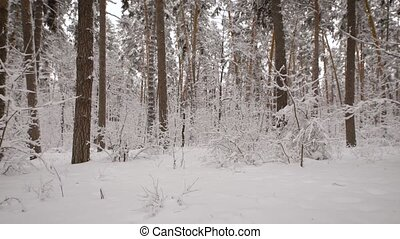 Winter forest. During walk on the it is possible to see...