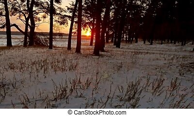 winter forest evening and sun landscape. sun christmas tree...