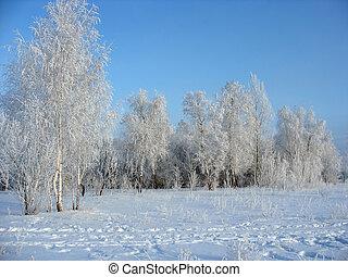 Winter forest. Frosty birchs