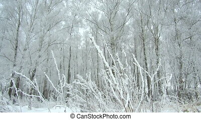 winter forest frosty cloudy day