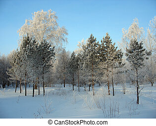 Winter forest. Frosty trees
