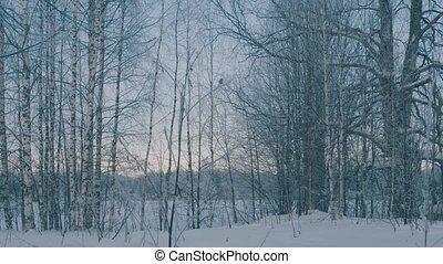 Winter forest in a hoarfrost. Wide shot