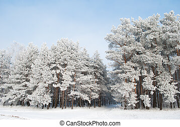 pine trees in snow on background of blue sky