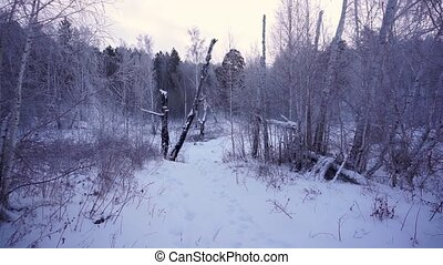 Winter forest. Siberian taiga - Winter forest. 50 fps...