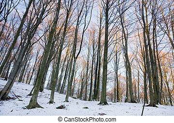 Winter forest - View of a forest in winter (Sweden).