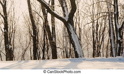 Winter forest, the sun is shining, the snow is shallow