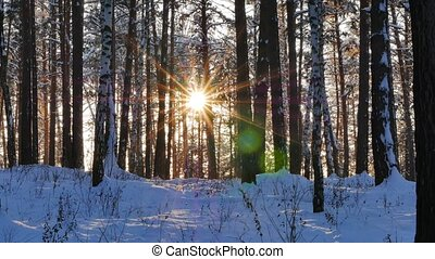 Winter forest. The trunks of the trees against the sun. Slider