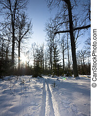 winter forest, trails, sun
