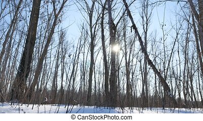 Winter forest trees in the snow glare of the sun, nature sunlight landscape