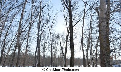 Winter forest trees in the snow glare of the sun, sunlight nature landscape