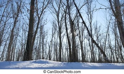 Winter forest trees in the snow nature glare of the sun, sunlight landscape