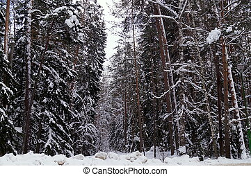 Winter forest, trees in the snow