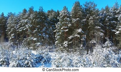Winter in a Russian forest wilderness brings a thin blanket of snow to cover these pine trees.