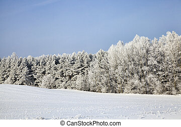 winter season in the forest, bare deciduous trees covered with a thick layer of snow and frost with frost, mid-cold winter, especially nature in the winter season