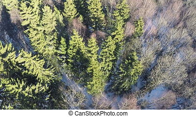 Winter forest with fir trees and birches, aerial
