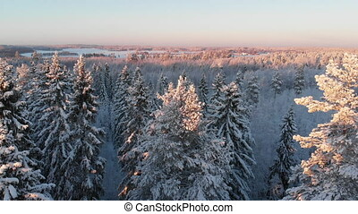 Winter forest with snowy trees in sunset - Coniferous winter...