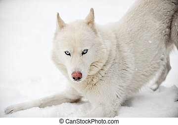 winter, foto, op einde, witte , huskey