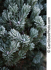 Winter frost on pine, christmas tree close-up