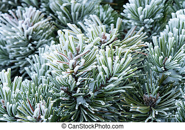 Winter frost on pine tree