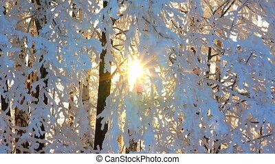 winter frozen birch woods and sun rising - timelapse
