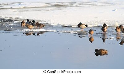 Winter frozen lake and ducks on ice