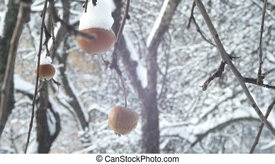 winter garden apple tree branch and fruit cover with snow hang.